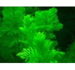 5 bunch Cabomba Carolina, aquatic plant
