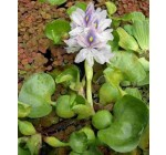 5 baby water hyacinth, eichhornia crassipes floating plant for garden pond Reviews