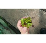 1 pcs Salvina natans for pond, floating plant against algae