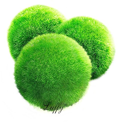 Luffy  3 Giant Marimo Moss Ball (1.5 inch to 2 inch) + one small marimo Free!(ship from UK) Live Aquarium Aquatic Plant for Fish/shrimp Tank for discus betta decor ornament crystal red shrimp cheapest diffuser Co2 fern java Anubias where buy what is how to grow japanese japan algae aegagropila terrarium bonsai pets easy home plant air rare ada coral reef saltwater brackish Reviews