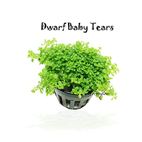 Dwarf Baby Tears Hemianthus Callitrichoides Cuba Potted Java Moss Live Aquatic Plants for Aquarium Freshwater Fish Tank by Greenpro